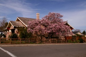 Japanese Magnolia and House