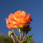 Diablo Flame Rose with Dew