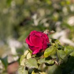 Red Rose in Dew